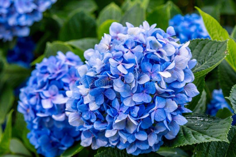 Schöner blühender Hortensiebusch mit blauen Blumen lizenzfreie stockbilder