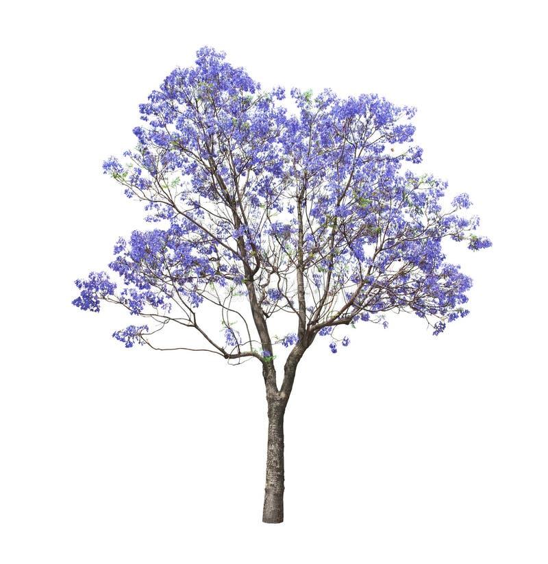 Schöner blühender Jacarandabaum stockfotos