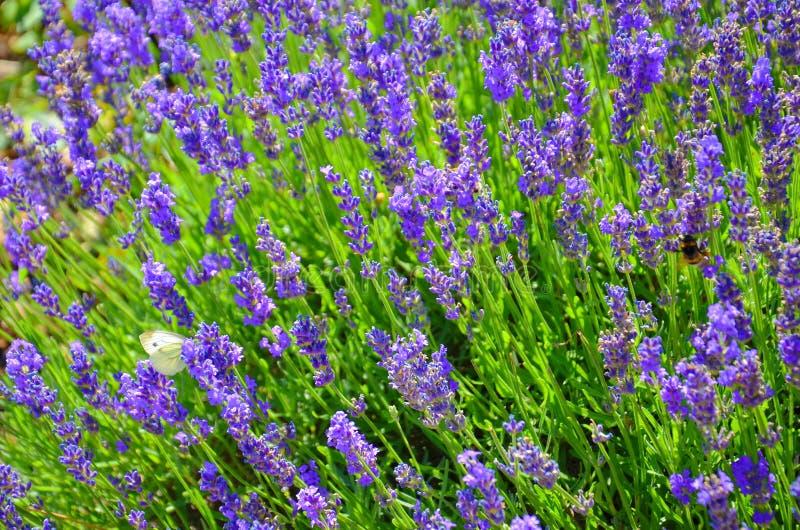Schöner blühender mehliger Salbei, Salvia-farinacea, nah oben genommen Das erstaunliche purpurrote heilende Kraut zieht Schmetter lizenzfreie stockfotografie