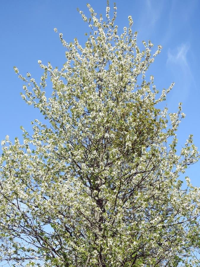 Schöner blühender Pflaumenbaum, Litauen stockfoto