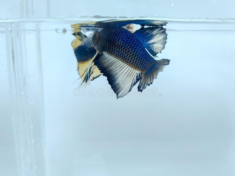 Schöner blauer Halbmond und goldene gelbe fantastische betta Fische mit den flaumigen Flossen lokalisiert lizenzfreie stockfotos