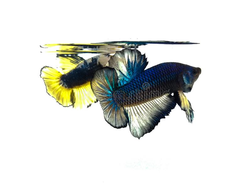 Schöner blauer Halbmond und goldene gelbe fantastische betta Fische mit den flaumigen Flossen lokalisiert lizenzfreies stockbild