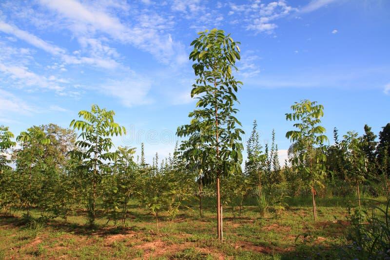 schöner blauer Himmel und grüne Mahagonibaumansichtumwelt stockfoto