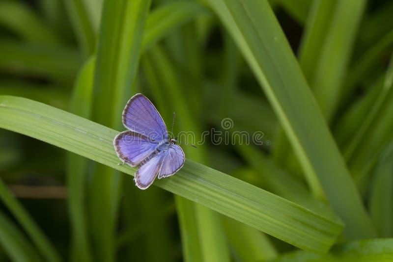 Schöner blauer kleiner Schmetterling stockbilder