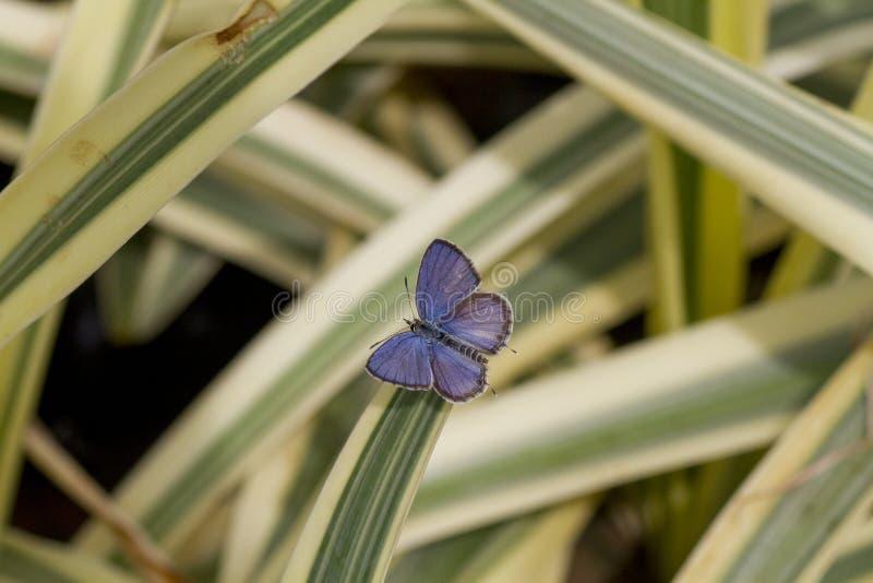Schöner blauer kleiner Schmetterling stockfotos