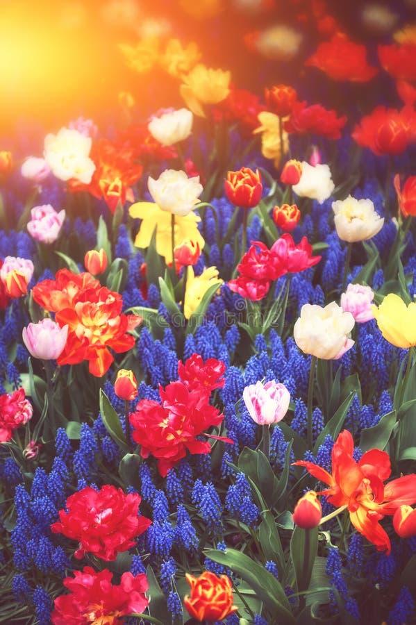 Schöner blauer Muscari und Mehrfarbentulpen Gerade ein geregnet lizenzfreie stockbilder