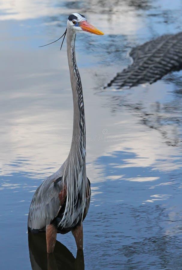 Schöner blauer Reiher-Vogel in Florida stockbilder