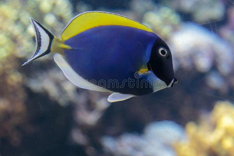 Schöner blauer Surgeonfish, Paracanthurus Hepatus innerhalb des Aquariums stockfoto
