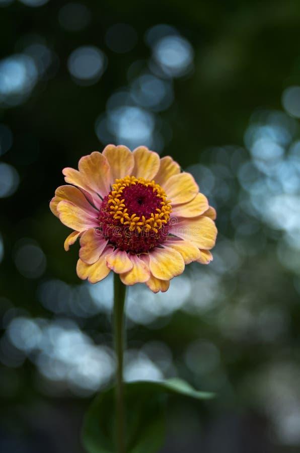 Schöner Blume Zinnia lizenzfreies stockfoto