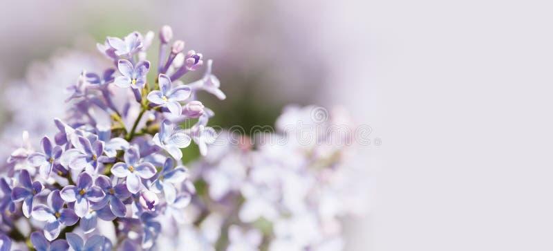 Schöner Blumenfrühjahr-Tapetenhintergrund Blühende gemeine des Syringa Fliederbusch violette purpurrote Blumen flieder stockfotografie