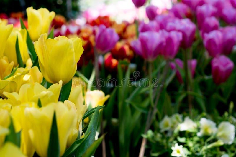 Schöner Blumenstrauß der Tulpen Bunte Tulpen Tulpen im Frühjahr, bunter Tulpengarten stockfoto