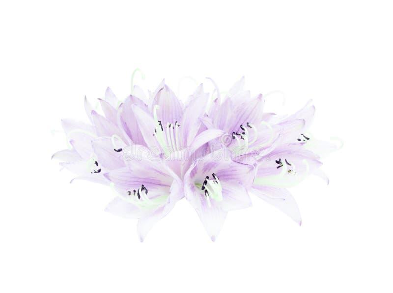 Schöner Blumenstrauß von den Blumen des Hosta oder der Bananenlilie lokalisiert auf weißem Hintergrund lizenzfreie stockbilder