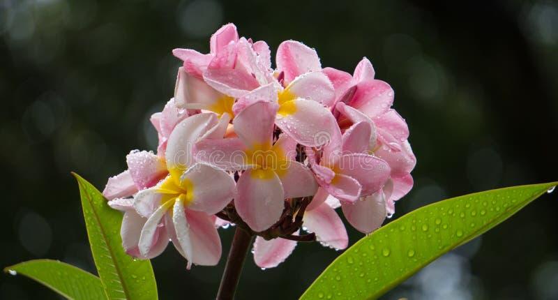 Schöner Blumenstrauß von Plumeria-Blumen mit Regen-Tropfen stockbild