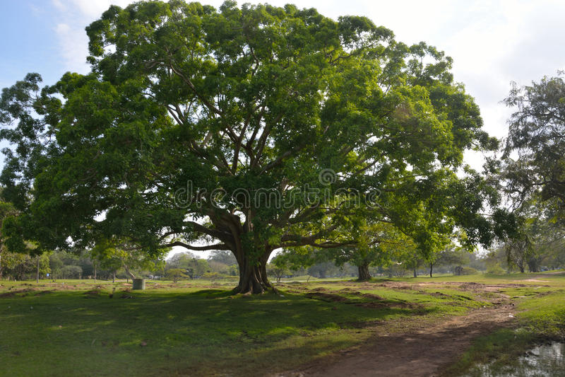 Schöner Bodhi-Baum lizenzfreie stockbilder