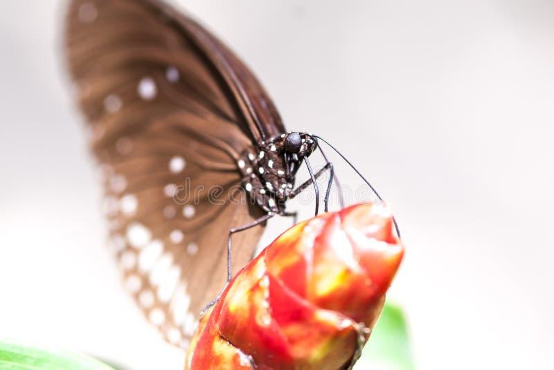 Schöner brauner Schmetterling, der auf roter tropischer Blume sitzt lizenzfreie stockfotos