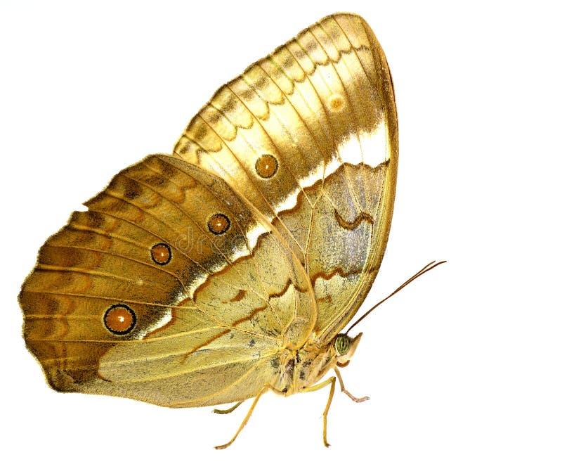 Schöner brauner Schmetterling, Kambodschaner junglequeen Seitenansicht profi lizenzfreies stockbild
