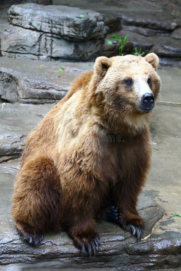 Schöner Brown-Bär lizenzfreies stockbild