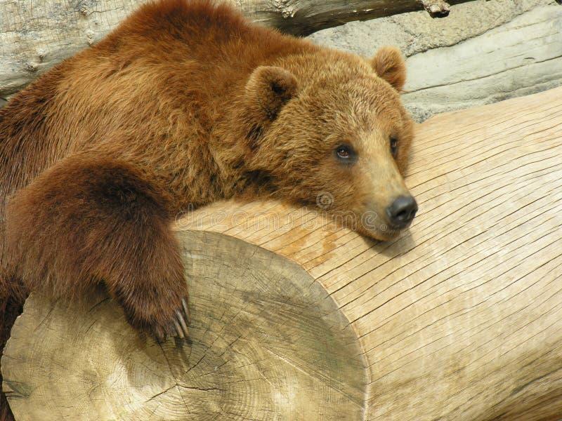 Schöner Brown-Bär stockbilder