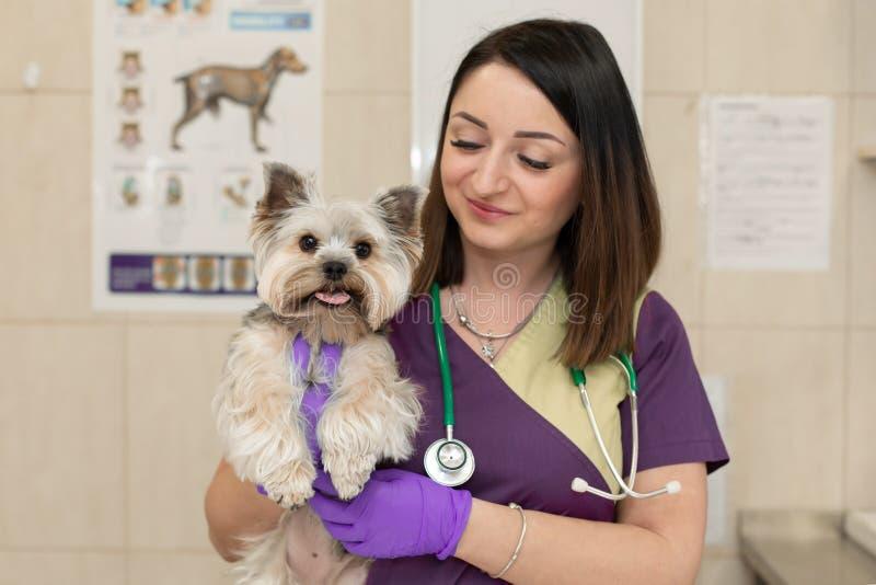 Schöner brunette Doktortierarzt überprüft eine kleine nette Hunderasse Yorkshire Terrier an einer Veterinärklinik Gl?cklicher Hun stockfoto