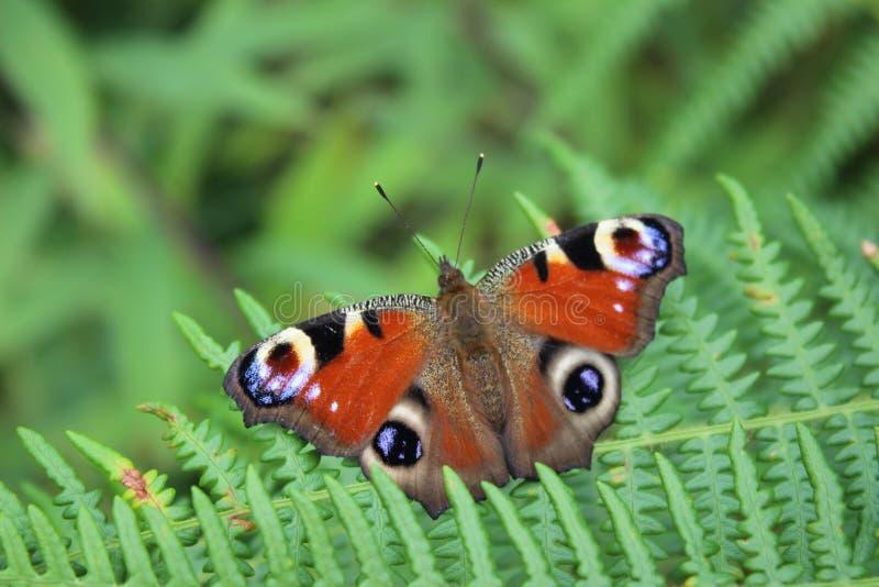 Schöner bunter Schmetterling, der auf den Farnen stationiert stockfotografie