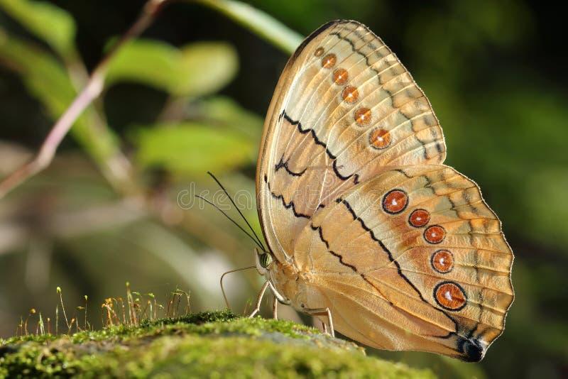 Schöner bunter Schmetterling in der Natur lizenzfreie stockbilder