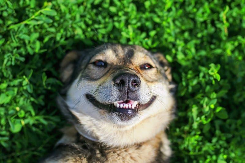 Schöner erfüllter Hund, der auf dem üppigen grünen Gras in der Summe liegt stockbilder
