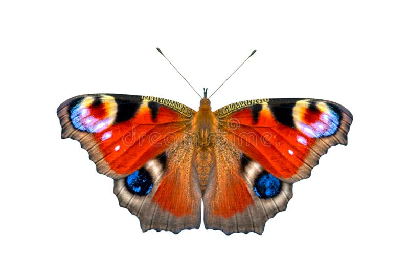 Schöner farbiger Schmetterling auf einem weißen Hintergrund Europäischer Pfauschmetterling Inachis io lizenzfreie stockfotografie