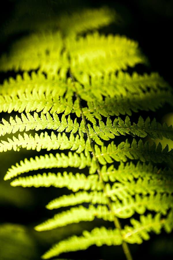 Schöner Farn verlässt grünem Laub natürlichen Blumenfarnhintergrund im Sonnenlicht stockbild
