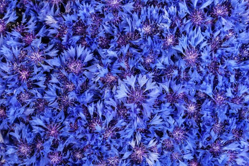 sch ner fr hling bl ht blaue kornblume auf hintergrund blaues flo stockfoto bild von haufen. Black Bedroom Furniture Sets. Home Design Ideas