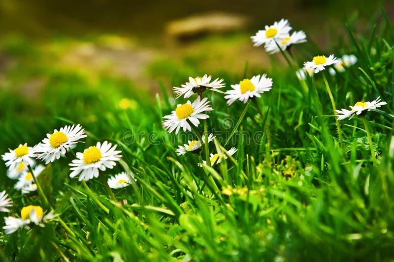 Schöner Frühling blüht Hintergrund Matricaria stockbild