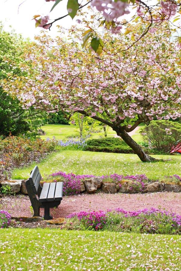 Schöner Frühling mit Kirschbaum und Holzbank stockfotos