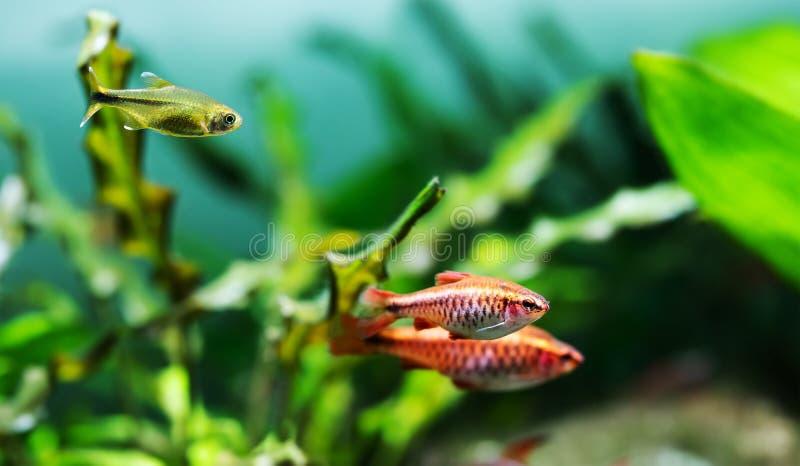 Schöner Frischwasseraquariumbehälter mit Kirschwiderhaken und silbernen gespitzten Tetra- Fischen Grünpflanzen, die Hintergrund w stockfoto