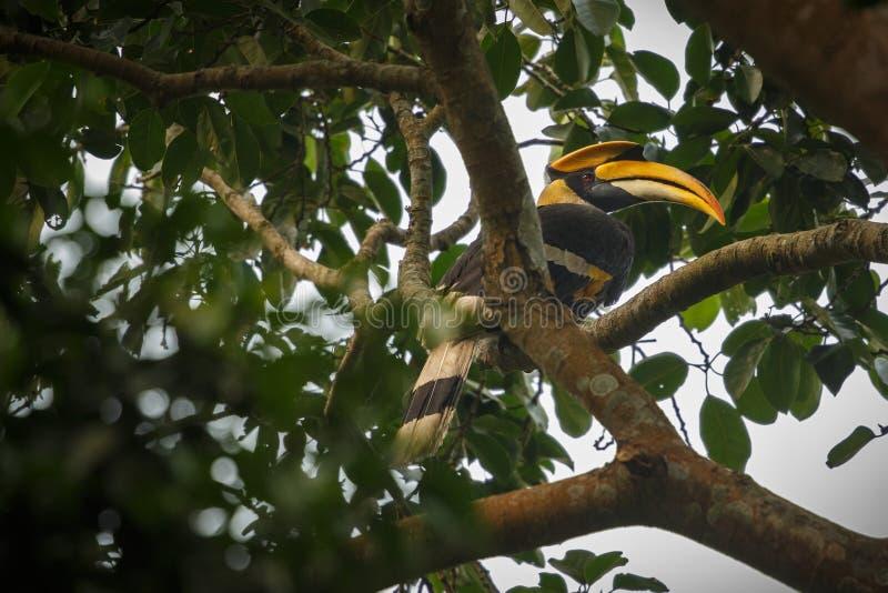 Schöner gefährdeter großer Hornbill auf einem Baum in Kaziranga lizenzfreie stockfotos
