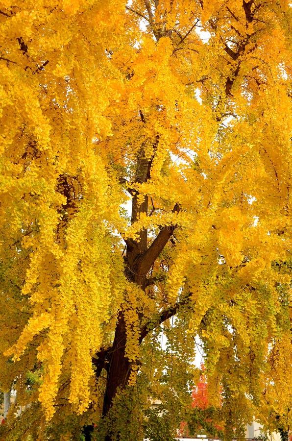 Schöner gelber Baum in Autumn Season in einem Park in Florence City lizenzfreie stockfotografie