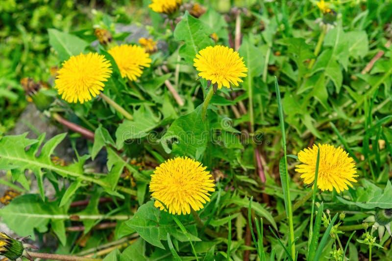 Schöner gelber Löwenzahn in voller Blüte, unter üppigem grünem Gras stockbilder
