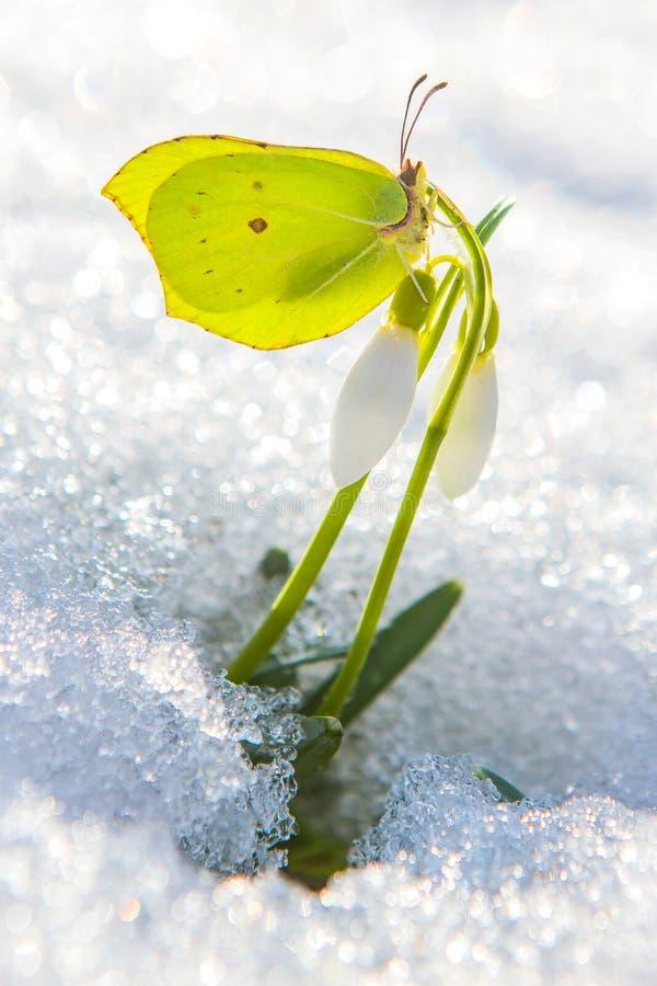 Schöner gelber Schmetterling sitzt auf der ersten Frühlingsschneeglöckchenblume, die vom wirklichen Schnee herauskommt lizenzfreie stockfotos