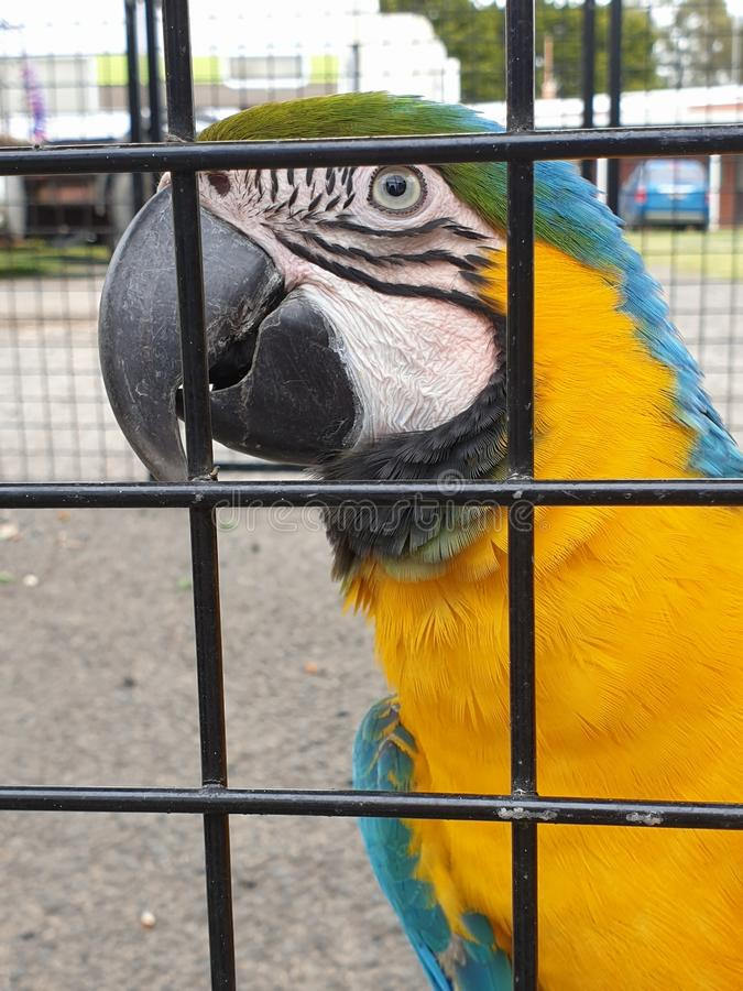 Schöner gelber und blauer Papagei lizenzfreie stockfotografie
