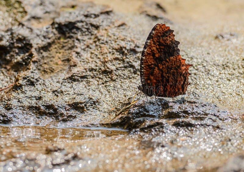 Schöner getrockneter Blatt Palmfly-Schmetterling essen Mineral in der Natur lizenzfreie stockfotos