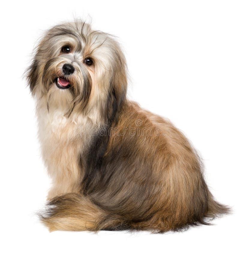 Schöner glücklicher Hund Bichon Havanese von hinten stockfotografie