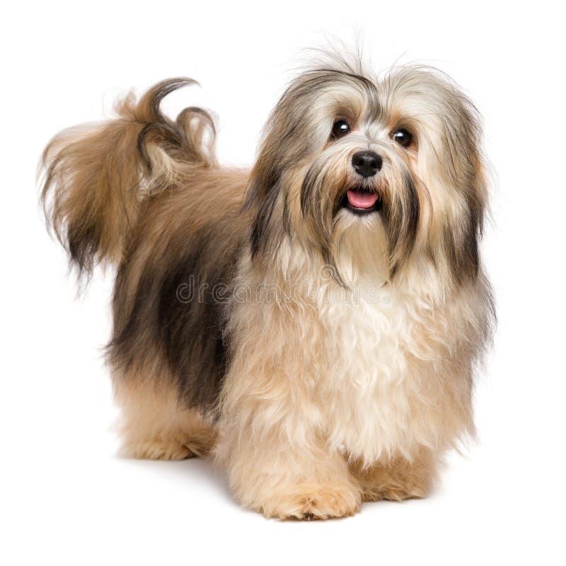 Schöner glücklicher junger Hund Bichon Havanese stockbilder