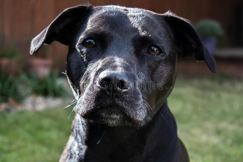 Schöner glatter glänzender schwarzer Bullterrier-Kreuzungshund Labradors Staffordshire mit traurigen Augen lizenzfreies stockbild