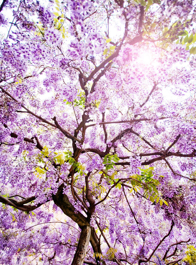 Schöner Glyzinie-Baum stockfoto