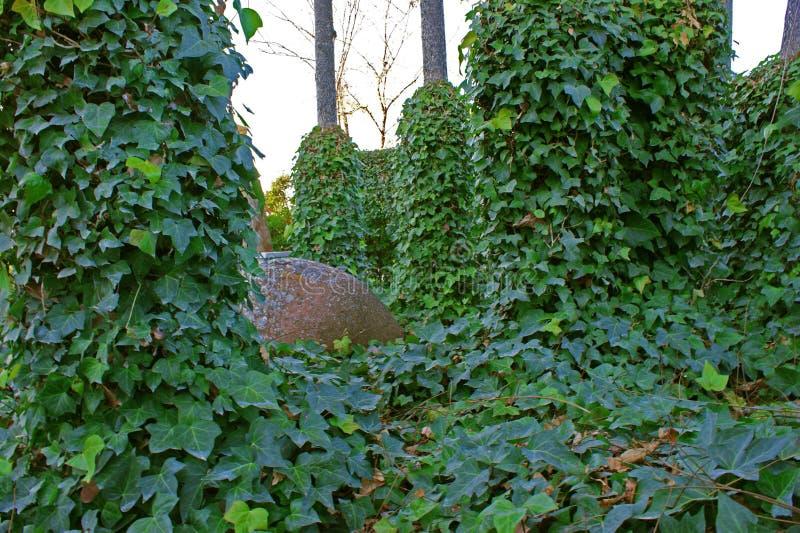 Schöner grüner Efeu belaubt unter Bäumen mit Schlammglas unter ihm 4 stockfotografie