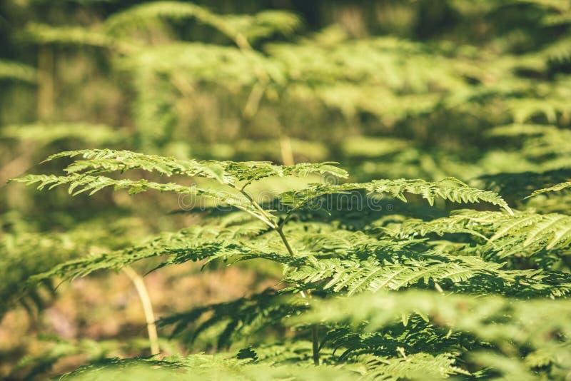 schöner grüner Farn verlässt unter Sonnenlicht im Wald - vint lizenzfreie stockbilder