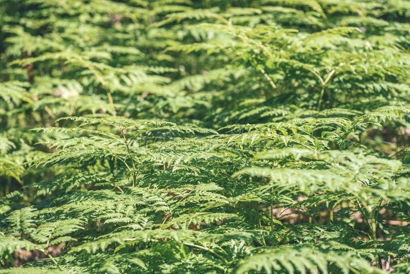 schöner grüner Farn verlässt unter Sonnenlicht im Wald - vint stockfoto