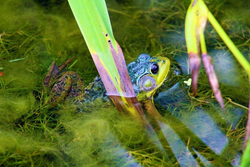 Schöner grüner Frosch lizenzfreie stockfotos