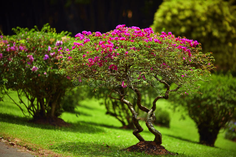 Schöner grüner Gartenrasen mit rosa Büschen lizenzfreie stockfotografie