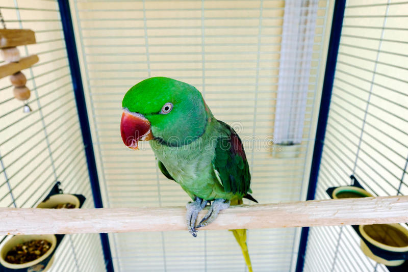 Schöner grüner Papagei, der zu Hause lebt stockfotos