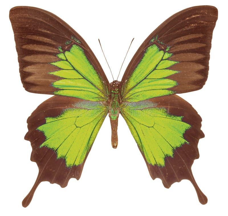 Schöner grüner Schmetterling lokalisiert auf weißem Hintergrund stockfoto
