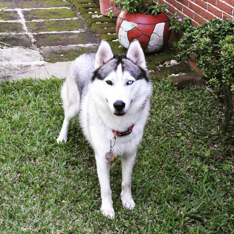 Schöner grauer Schlittenhund mit Heterochromia lizenzfreie stockbilder